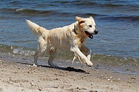 Golden Retriever dog Canis lupus familiaris, male, two years, running on the beach