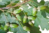 Acorn oak tree