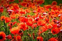 Poppy, poppy, poppy field, poppy flower field