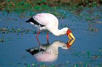 Yellow_billed stork