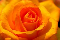 yellow rose flower closeup