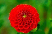 red pompom dahila flower
