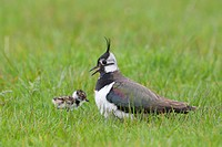 Northern Lapwing Vanellus vanellus adult female, calling to newly hatched chick, Suffolk, England, may