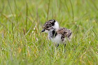 Northern Lapwing Vanellus vanellus chick, newly hatched with egg tooth, standing on grazing marsh, Suffolk, England, may