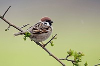 Eurasian Tree Sparrow Passer montanus adult, perched on twig, Warwickshire, England, april