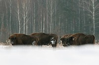 European Bison Bison bonasus herd, standing in snow covered field, Bialowieza N P , Podlaskie Voivodeship, Poland, february
