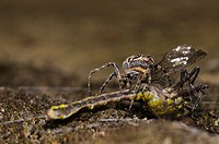 Bridge Spider Larinioides sclopetarius adult, with Club_tailed Dragonfly Gomphus vulgatissimus newly emerged adult prey, caught before wings had harde...