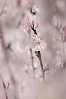 Prunus dulcis, Almond