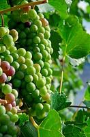 Grape Bunches on Vine
