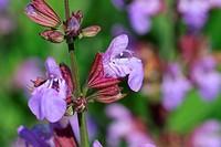Sage labiatae Flower