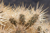 Close Up Of Backlit Cactus Spikes, Palm Springs California United States Of America