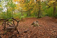 Ground Covered With Fallen Leaves In Autumn, Northumberland England