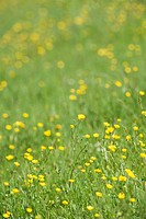 Buttercups growing in field