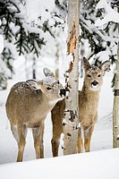 Two young deer in a snow covered forest chewing on tree bark, kananaskis country alberta canada