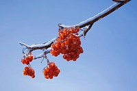 Close_up of ice covered red berries on a tree branch in winter, old terrebonne lanaudiere quebec canada