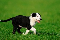Young Border Collie on meadow
