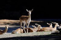 Group of Blackbucks Antilope cervicapra