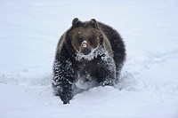 Eurasian brown bear Ursus arctos arctos in snow