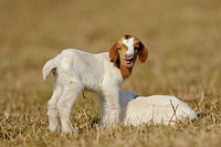 Two young goats on pasture