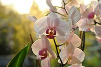 White Phalaenopsis