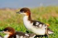 Two Goosander goslings Mergus merganser in grass