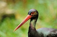 Black Stork Ciconia nigra, portrait