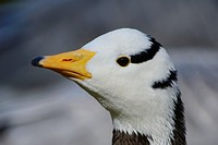 Bar_headed Goose Anser indicus, portrait