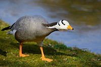 Bar_headed Goose Anser indicus by the water