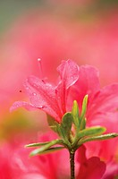 Rhododendron, Azalea