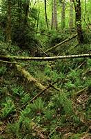 Pinus, Abies, Picea, Pine, Fir, Spruce,