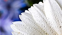 white gerbera petals with water drops
