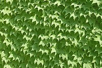 Close_up of ivy covering a wall