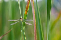 DRAGONFLY Lestes viridis young male, Gipuzkoa, Basque Country, Spain, Europe.