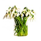 flower snowdrop bouquet