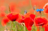 cornflower and poppy flowers