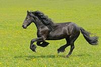 Galoppierender Friese auf der Koppel / Friesian horse galloping in the field