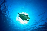 Grüne Meeresschildkröte an der Wasseroberfläche, Chelonia mydas, Ägypten, Rotes Meer, Green sea turtle, Aegypt, Red Sea