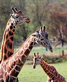 Three Giraffe family narrow DOF