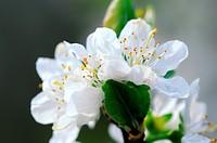 Blütenpracht der Zwetschgen, The plum blossom