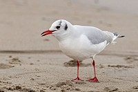 Lachmöwe Chroicocephalus ridibundus _ Black_Head Gull Chroicocephalus ridibundus