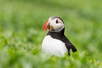 Atlantic puffin Fratercula arctica, Farne Islands, Northumberland, England, United Kingdom, Europe