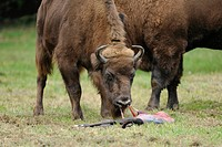 European bisons, wisents (Bison bonasus), cow and calf shortly after birth, cow eating the amniotic sac, game reserve, Saxony, Germany, Europe, Public...