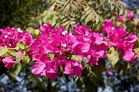 bouganivillea flowers