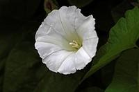 Bindweed (Calystegia sepium subsp. sepium)