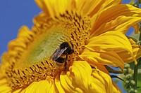 Sunflower (Helianthus annuus), bumblebee (Bombus sp.)