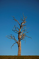 Gum tree alone in field (thumbnail)