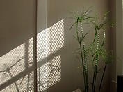 Papyrus plant striped with sunlight and shadow through blinds, reflected on wall