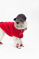 A Maltipoo wearing a baseball uniform and cap