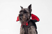 A Schnauzer wearing a Count Dracula cape costume