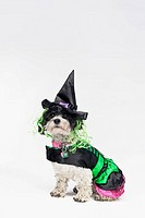 A black and white dog wearing a witch's costume